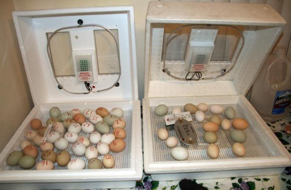 инкубатор для яиц волнистого попугая