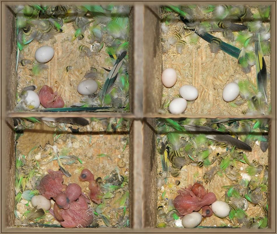 Инкубирование яиц попугаев