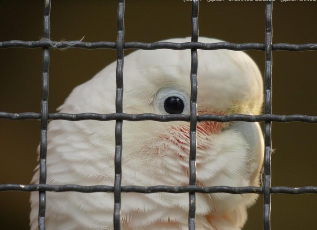какаду в клетке