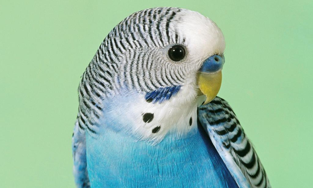 Орнитоз у волнистого попугая