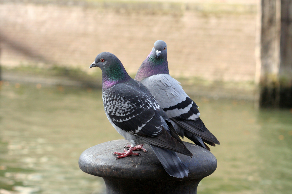 Сингамоз у голубей