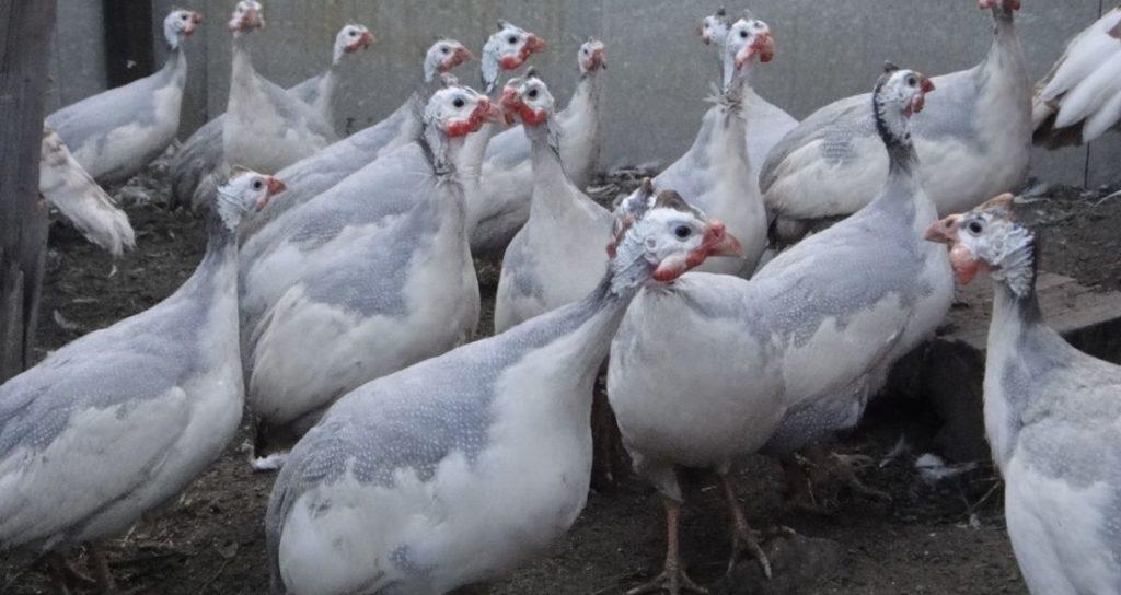 Белая сибирская цесарка