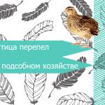 Птица перепел в подсобном хозяйстве