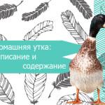 Домашняя утка: описание и содержание