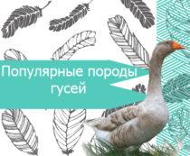 Популярные породы гусей