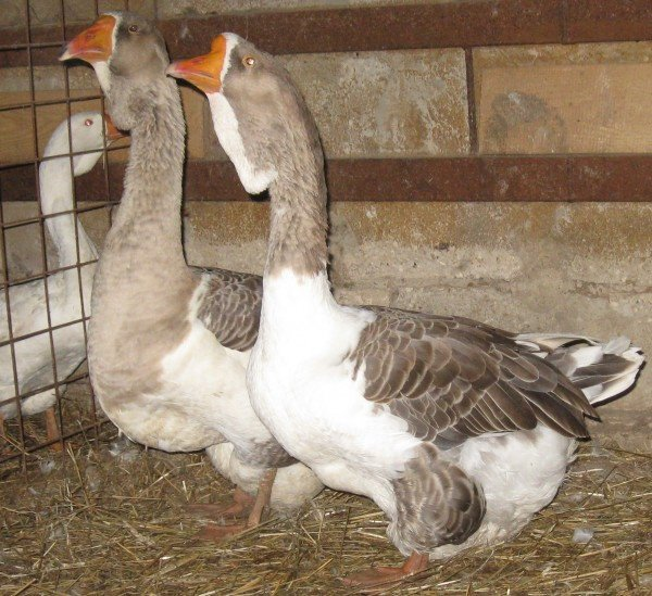 кубанские гуси