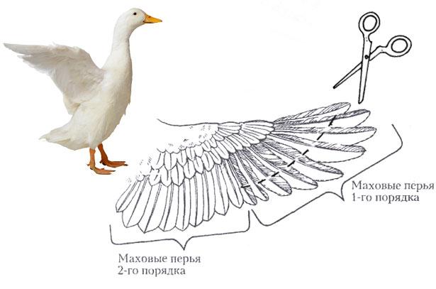 подрезание крыльев уткам