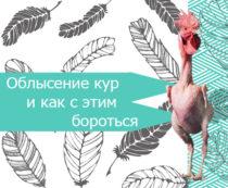 Облысение кур