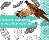 фазан