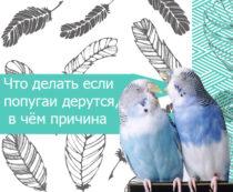 попугаи дерутся