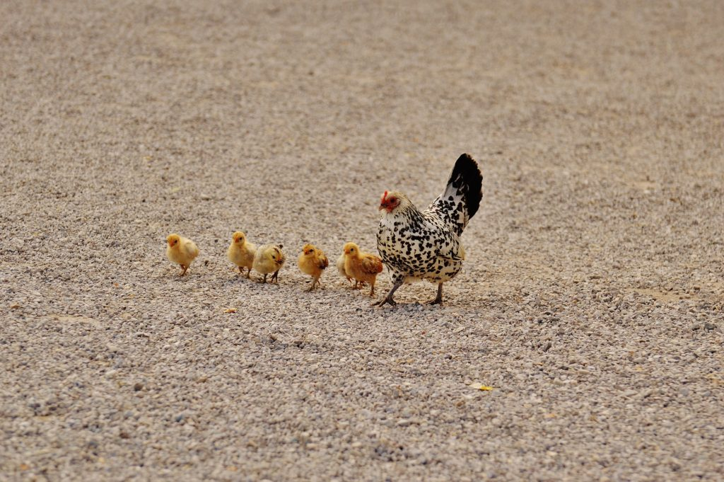 Вывод цыплят