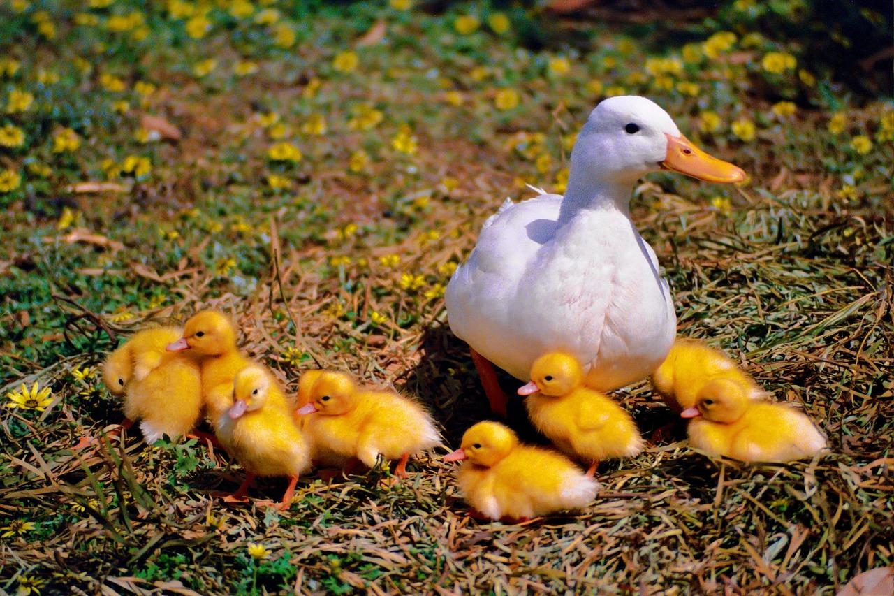 Утята картинки и мама утка