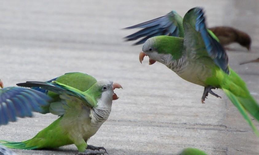 почему попугай дерутся