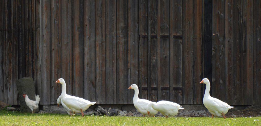 Как отличить серого гусака от гусыни среди взрослых птиц
