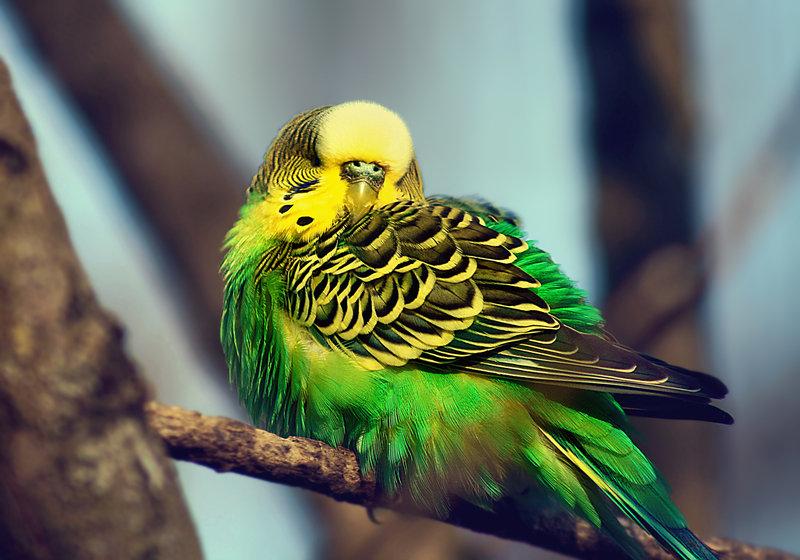 Основные правила разведения волнистых попугайчиков