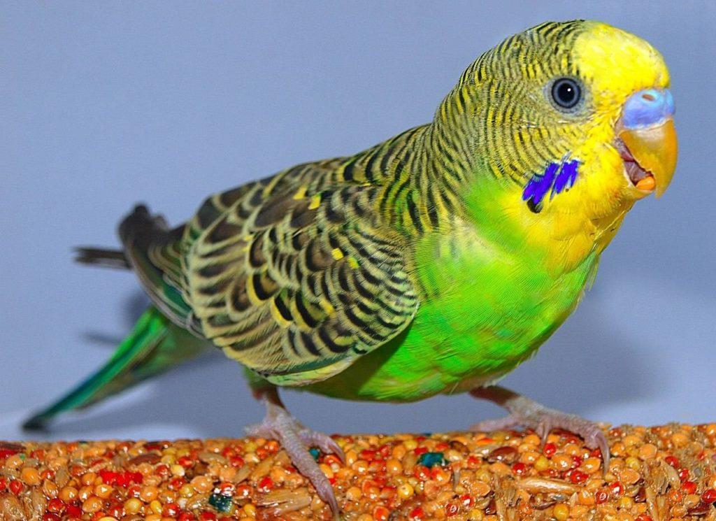 лечить волнистого попугая