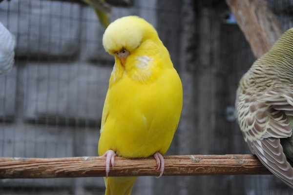 Описание попугайчика