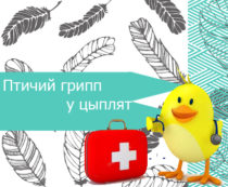 Птичий грипп у цыплят