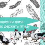 Индоутки дома: как держать птицу