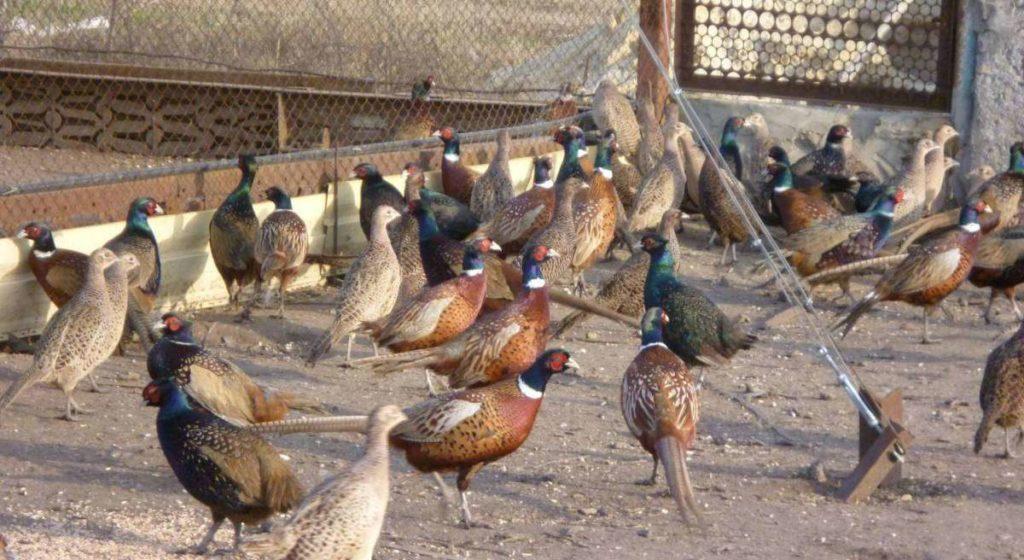 Чем кормить фазанов зимой