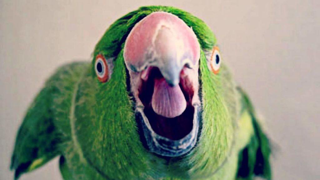 почему попугай стал агрессивным