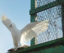 Тренировка летных голубей