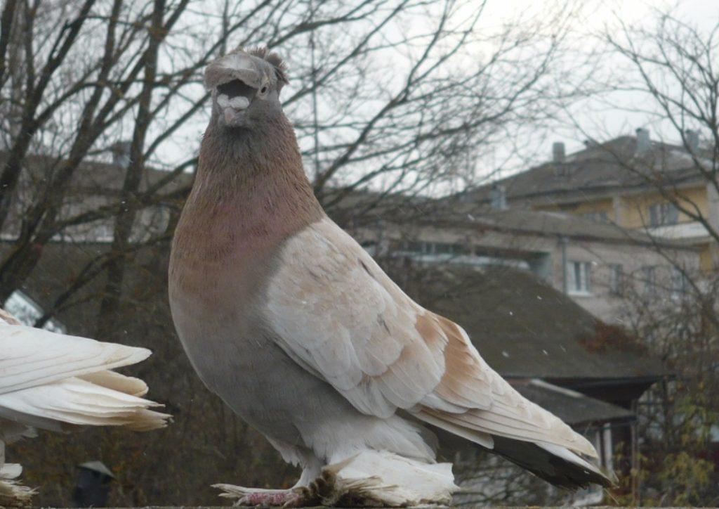 как гонять голубей правильно