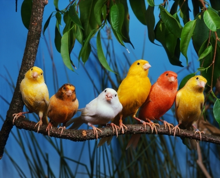 птица канарских островов