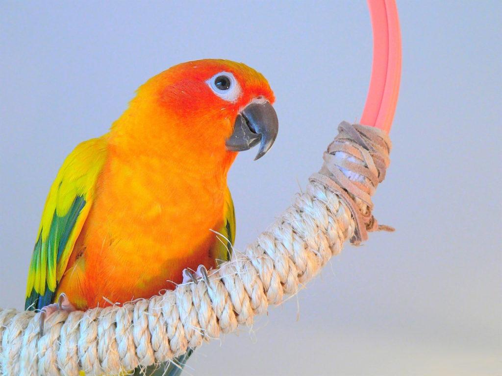 держать дома попугая