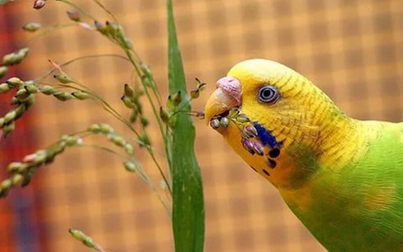 как назвать попугая мальчика