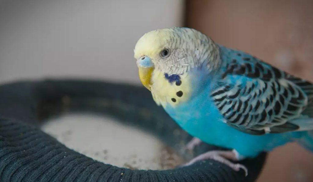понос у волнистого попугая причины и лечение