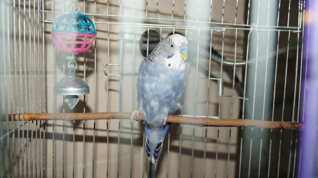 завести попугая дома