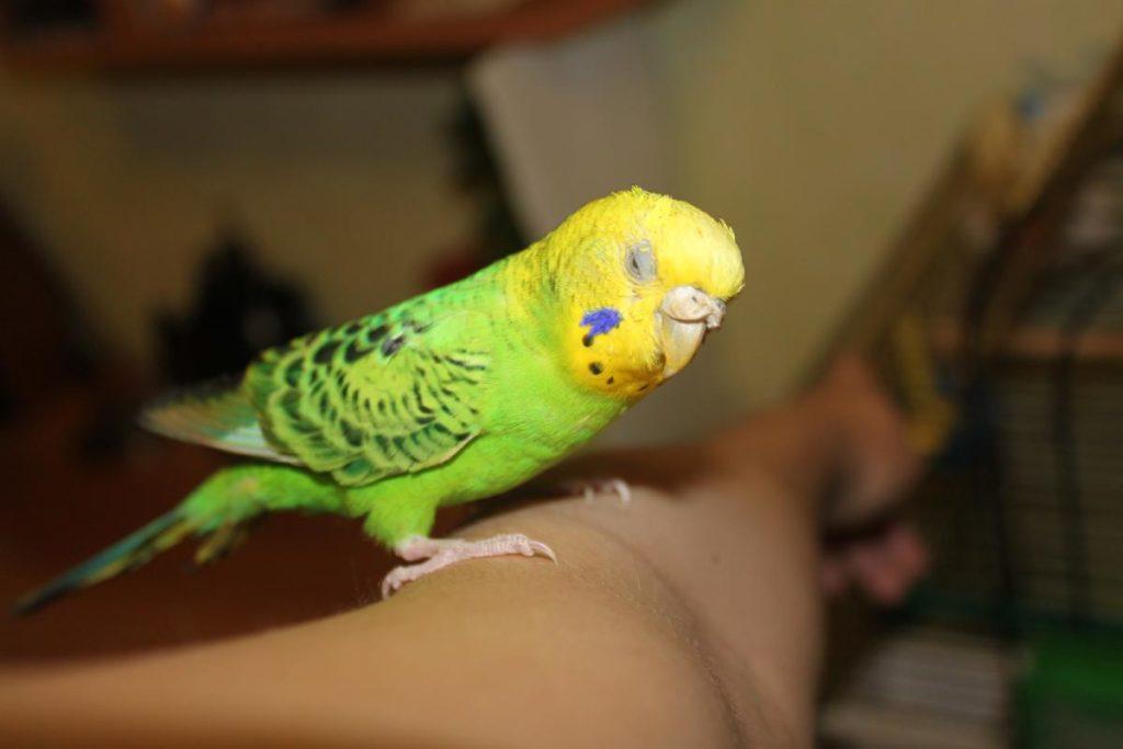 у волнистого попугая понос что делать