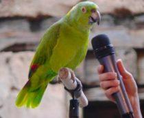 Виды говорящих попугаев
