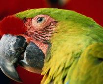 Старый попугай