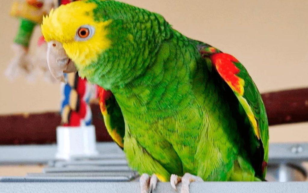 Перевоз попугая