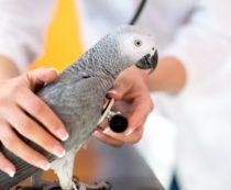 Кашель у попугая