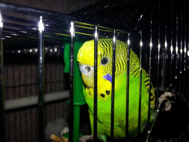 Гиподинамия у попугая