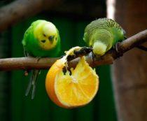Кожура фруктов для попугаев