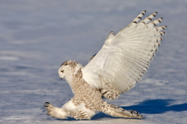 Белая полярная сова - ареал распространения и образ жизни