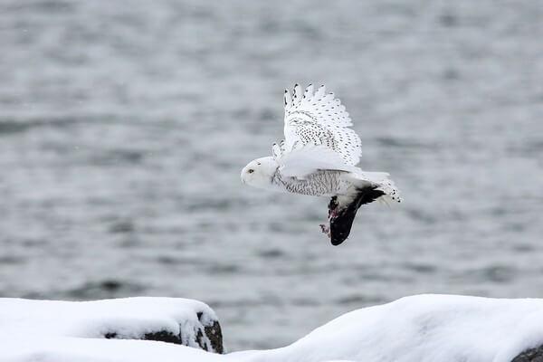 Белая сова в дикой природе