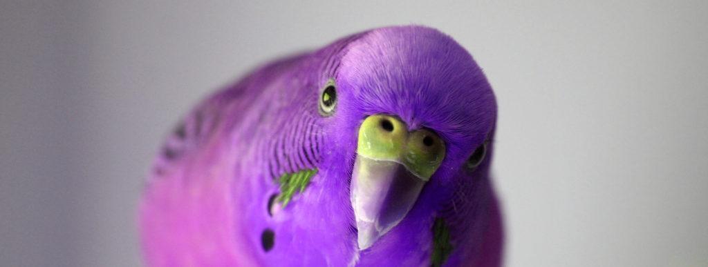 Сирень для попугая