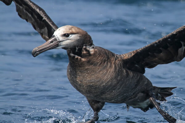 Внешний вид черноногого альбатроса