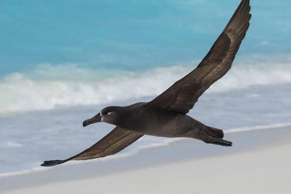Образ жизни черноногого альбатроса