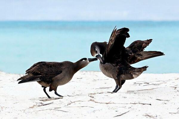 Размножение черноногих альбатросов