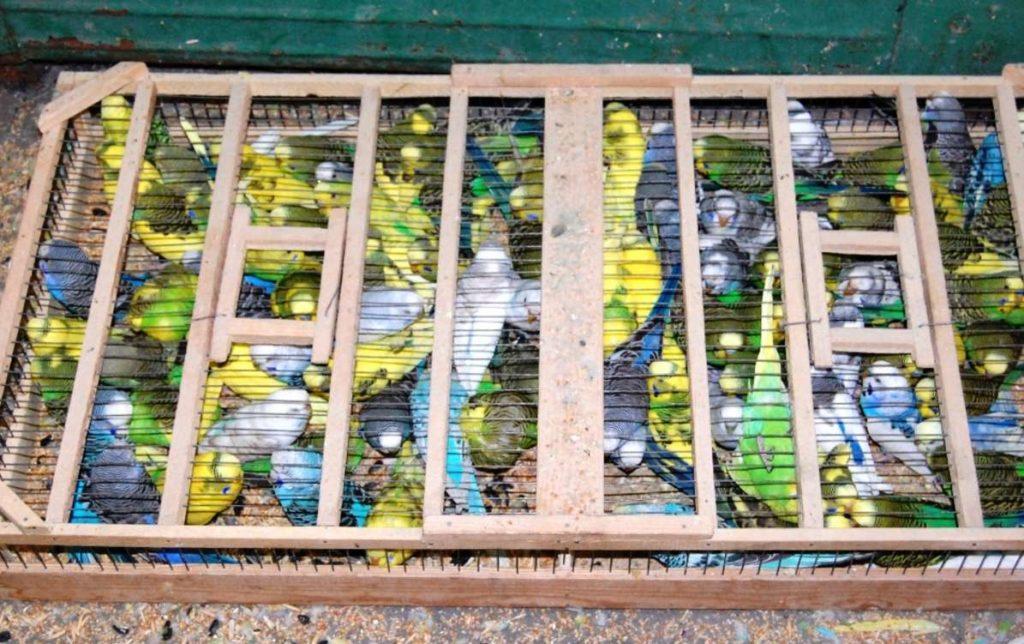 Перевоз попугая в другую страну