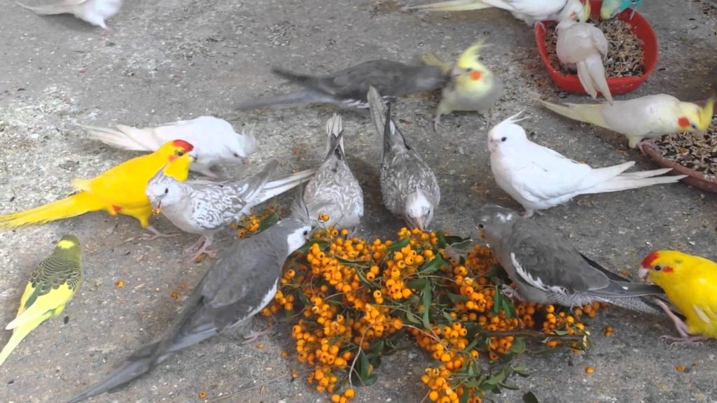 пираканта попугаям