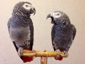 Кашель у попугаев