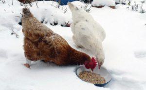 Кормление кур зимой.