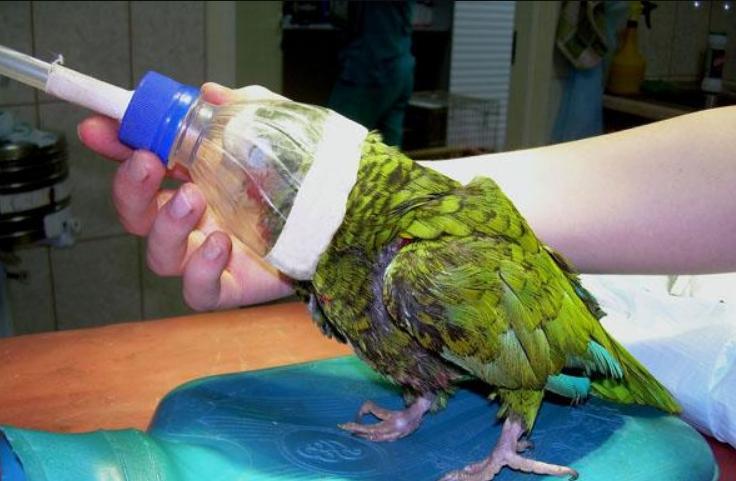 Подготовка к анестезии попугая